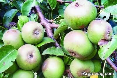 فواید میوه گلابی وحشی